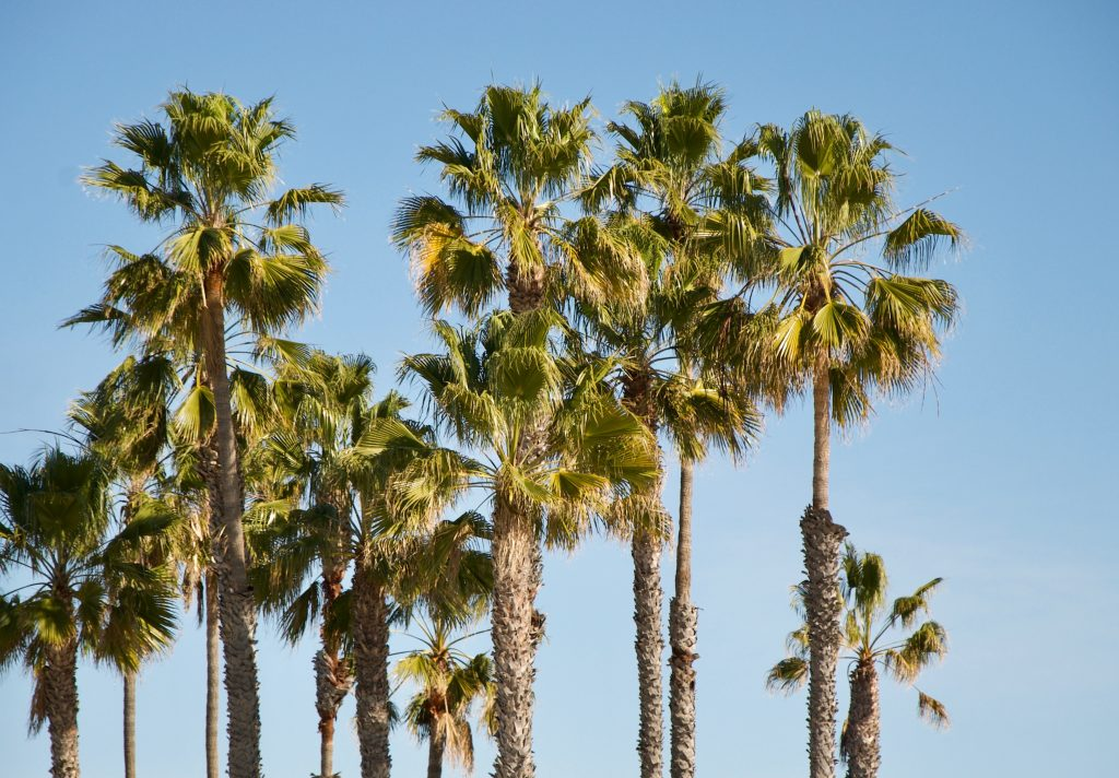 palm-trees_Redondo-Beach_California