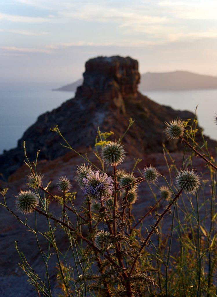 wild-purple-thistles_skaros-rock_imerovigli-oia-greece