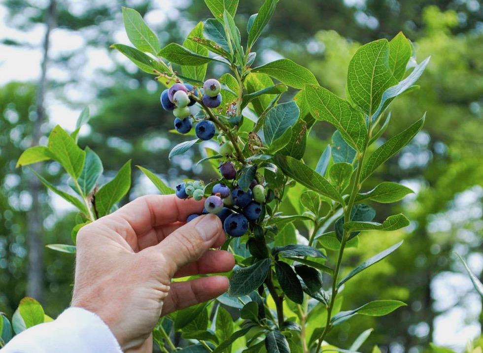 blueberry-picking-Wells-Maine