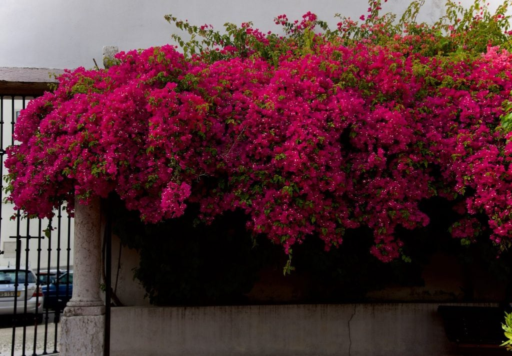 giant-bougainvillea_portuguese-flowers-bougainvillea_Lisbon-travel-guide