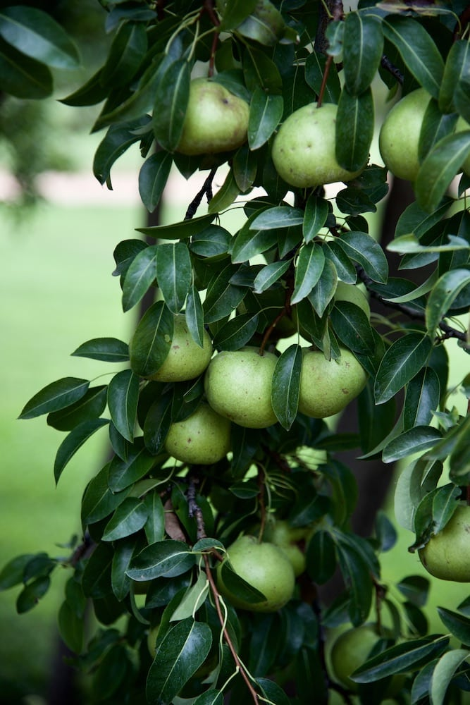 santa-fe-new-mexico-pears