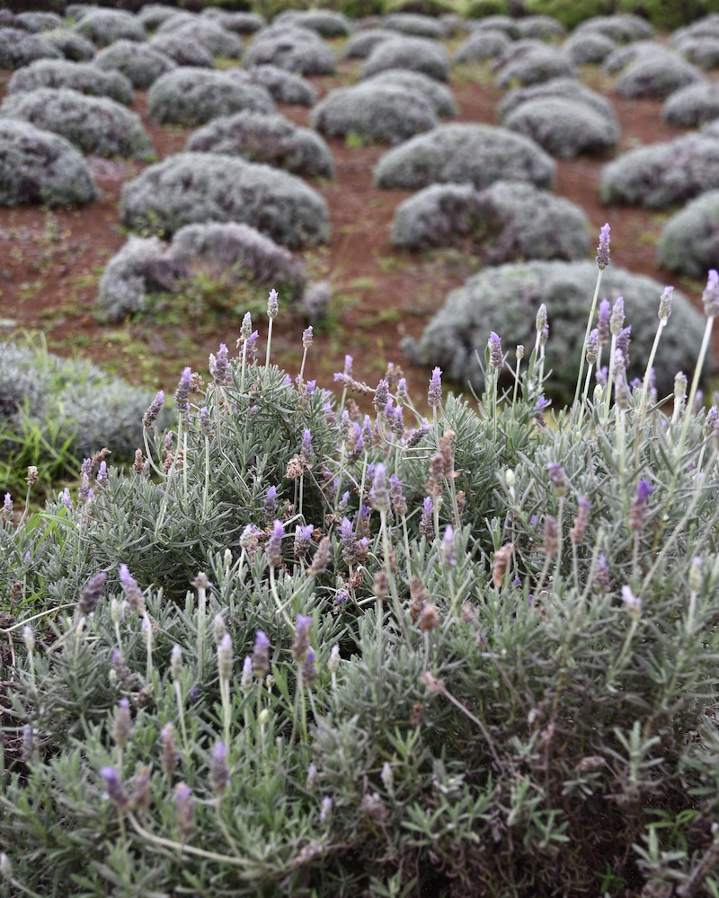 maui-travel-guide_maui-lavender